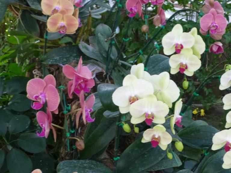 Koh Mak Orchids
