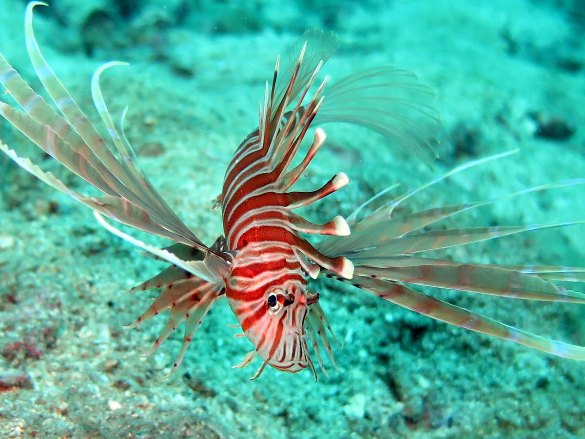 Lionfish in the waters around Koh Mak