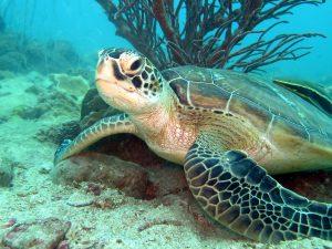 Koh Mak Underwater - Turtle