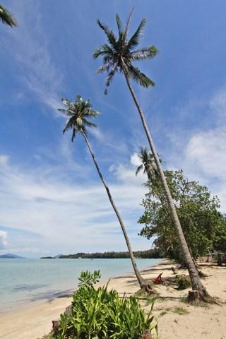 Huge coconut palms on Koh Mak island
