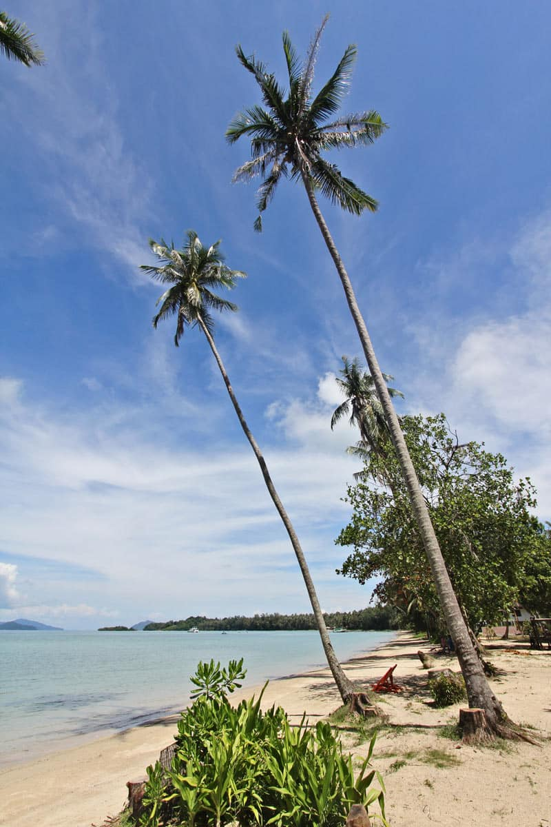 Huge coconut palms on Koh Mak island
