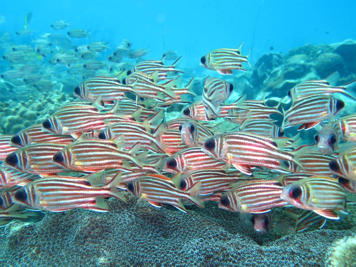 在水下世界的玛岛金鳞鱼