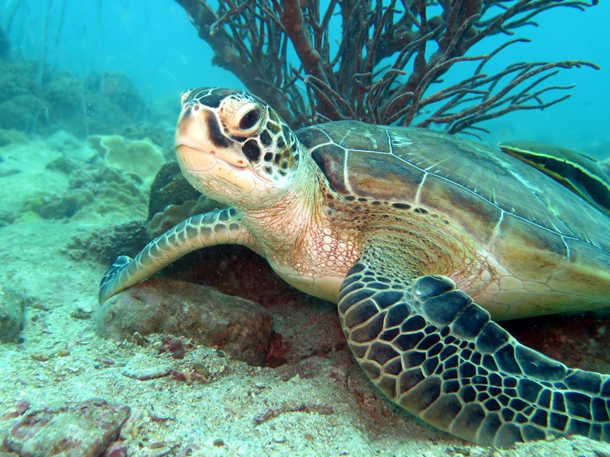 在水下世界的玛岛海龟